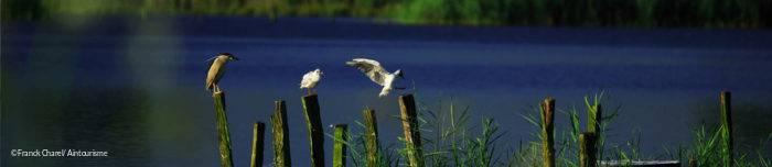 Oiseaux sur l'étang