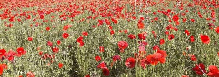 Divonne les Bains : champ de coquelicots, fleurissement
